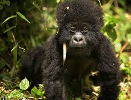 mountain gorilla facts habitat diet life cycle baby pictures