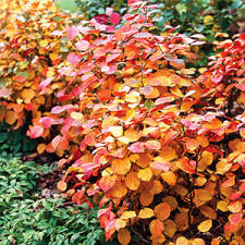 trees shrubs fall color trees shrubs trees
