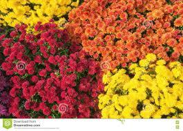 autumn mums or chrysanthemums flower background stock photo