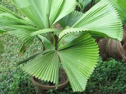 homesteadgardening ruffled fan palm
