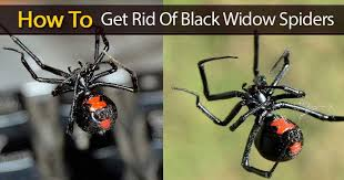 Black Widow Spiders Had A - black widow spiders how to get rid of black widows