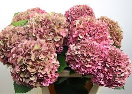 pink hydrangea colors of hydrangeas flirty fleurs the florist