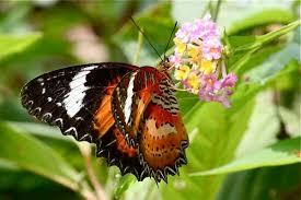 malaysian butterflies gallery