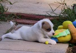 bichon frise jack russell for sale parson russell terrier puppies for sale akc puppyfinder