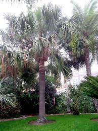 australian cabbage palms desert landscaping plants desert