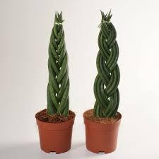 plants u0026 flowers cylindrical snake plant