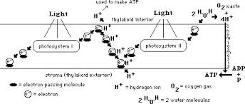 The Light Reactions Of Photosynthesis Use And Produce Photosynthesis25 Jpg