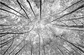 aspen trees in autumn reach to the sky in this black and white