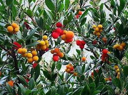 arbutus unedo strawberry tree buy at s annuals