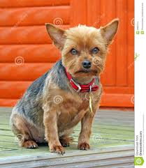 millie the yorkshire terrier dog stock photo image 53867214