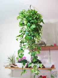24 trailing leaves 27 awesome indoor houseplants to brighten