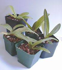 buy an orchid orchid care buying orchids online part i
