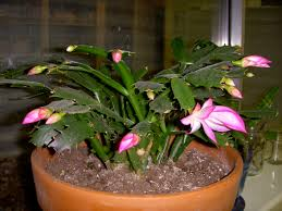 by merry and dave the cactus blooms again