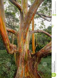 rainbow eucalyptus trees maui hawaii usa stock photo image