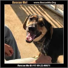 bluetick coonhound dander tennessee bluetick coonhound rescue u2015 adoptions u2015 rescueme org