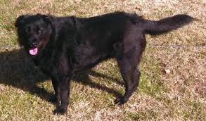 belgian shepherd labrador cross gypsy dog ops 12 dogs of christmas u2013 action needed u2013 please help