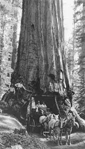 Chandelier Tree Address Historic Pioneer Cabin Tree Toppled In California Storm Sfgate