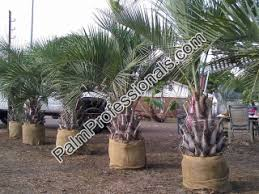 pindo palm tree for sale in houston buy cold hardy pindo