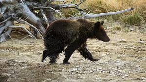 Hungry Bears Perishing On Western Montana Highways Local - heroic alaska boy 11 saves family from attacking bear and the