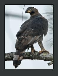 who has seen a crowned eagle africa birds safaritalk