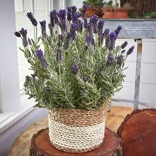 lavender gift basket nature s perfume lavender gift basket