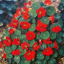 nasturtium seeds ebay