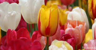 How To Grow A Bulb In A Vase How To Grow Tulips In Glass Jars All Year Around In Your Home