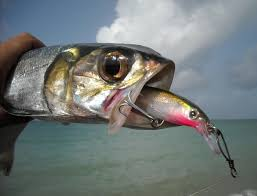 big fishes of the world ladyfish elops spp