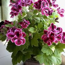 Flowers For Sale Aliexpress Com Buy Sale Rare T Maple Leaf Geranium Seeds