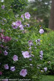 Patio Tree Roses by Lavender Chiffon Hibiscus Syriacus Proven Winners