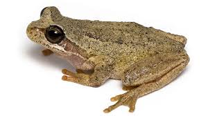 did you know brown tree frog youtube