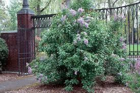 syringa vulgaris landscape plants oregon state university