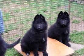 belgian sheepdog groenendael puppies santos offspring niavana belgian shepherds
