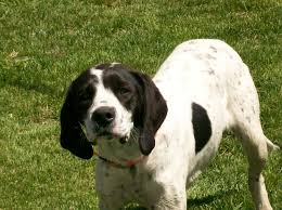 bluetick coonhound mississippi coondawgs com coonhound classifieds and message forum