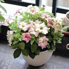 petunia flowers white pink scarce phantom petunia flower seeds seeds