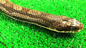 english pattern snake guides virginia living museum identifying common snakes