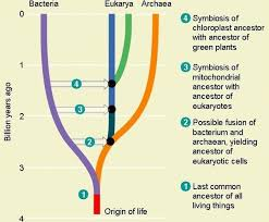 why do biologists place archaea closer to the eukarya domain even