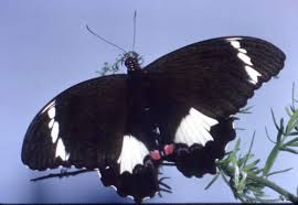 orchard butterfly australian museum
