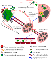 ijms free full text microenvironment of tumor draining lymph