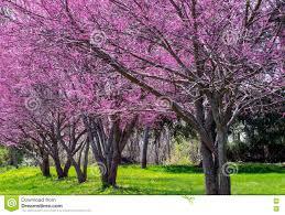 row of colorful redbud trees stock photo image 73788202