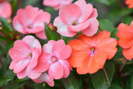 impatiens flowers why won t my impatiens bloom what to do for an impatiens with no