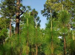 South Carolina forest images Longleaf pine at a 50 year high in south carolina compasslive jpg