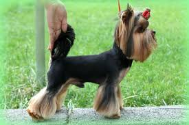 yorkie haircuts pictures only yorkie haircuts for males and females 60 pictures yorkie life