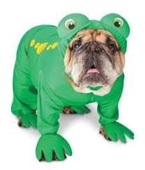 English Bulldog Halloween Costumes Beetlejuice Beetlejuice Beetlejuice