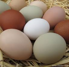 Can I Have Chickens In My Backyard by The Chicken Egg Eating Chickens How To Break The Habit
