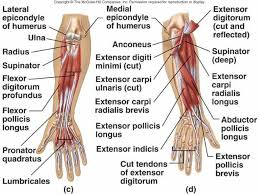 Anatomy And Physiology 7th Edition Saladin Wrist Anatomy Tendons At Best Way To Study Anatomy And Physiology
