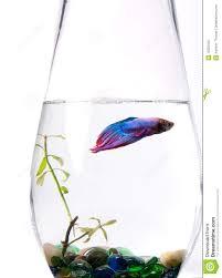 Beta Fish In Vase Blue Purple Siamese Fighting Fish Betta Splenden Stock Photos