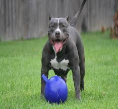 american pitbull terrier 9 months old blue nose pitbull 15 interesting facts about this dog
