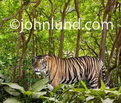 tiger in the jungle a tiger stalks through the jungle foliage