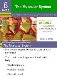 Human Anatomy And Physiology By Elaine Marieb Pdf Chapter 6 Muscular System Muscle Contraction Muscle